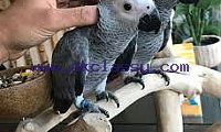 Adorable African grey  parrots looking for new homes.