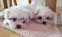 Adorable Maltese mini toy puppies well trained and vaccinated