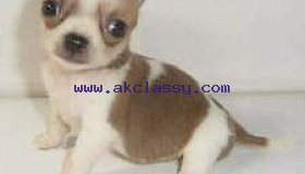 Adorable CHIHUAHUA mini toy puppies well trained
