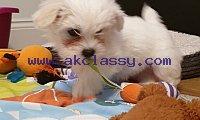 Tea Cup Maltese Puppies