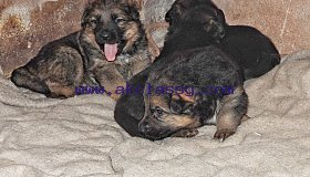 Cute German Shepherd Puppies for sale