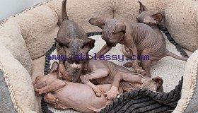 five-adorable-canadian-sphynx-kittens-5c92579988965_grid.jpg