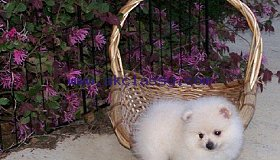 Pomeranian puppies M/F