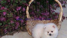 Pomeranian_grid.jpg