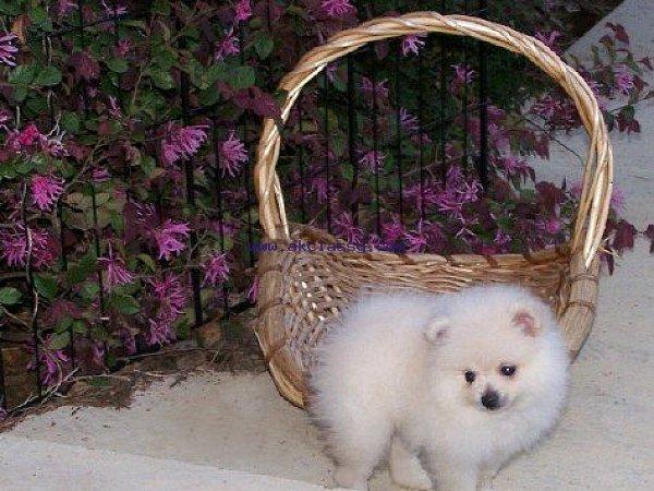 Pomeranian puppies M/F