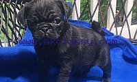 Pug Puppies Available.