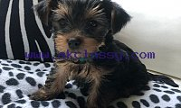ADORABLE TINY YORKIE PUPPIES AVAILABLE