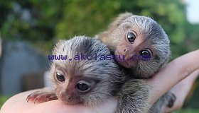 SWEET MARMOSET MONKEYS FOR ADOPTION