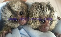 Vaccinated baby marmose monkeys for adoption
