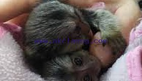 Amazing baby marmoset monkeys available for adoption