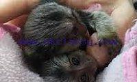 Amazing baby marmoset monkeys available for adoption