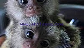 Best of all baby marmoset monkeys available for adoption