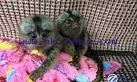 Male and female Baby marmoset monkeys available for adoption
