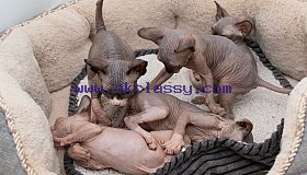 five-adorable-canadian-sphynx-kittens-5c92579988965_grid.jpg
