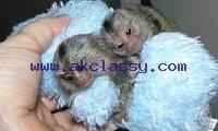 Finger Marmoset Monkeys available