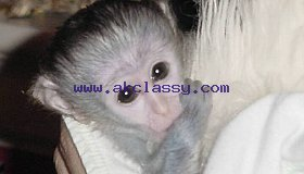 Adorable Baby Capuchin,Marmoset and Squirrel Monkeys for Adoption