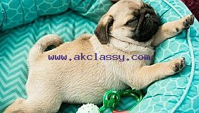 pug puppy, pugs for sale
