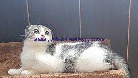 lovely Scottish kittens for sale
