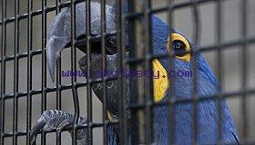 Caged_Hyacinth_Macaw_grid.jpg