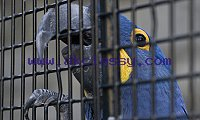 Hand Raised Hyacinth Macaw Parrots And Fertile Eggs For Sale.