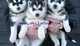 rmuixnb Blue Eyed Siberian Husky Pups Available for sale