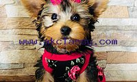 Male and Female Yorkie Puppies Available