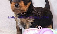 Home raised yorkie puppies for re homing 4 Month Old