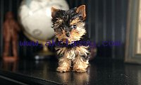 Cute and Adorable Yorkie Puppies for Adoption AKC New...