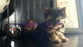 Potty Trained yorkies puppies for sale