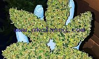 TOP QUALITY BUDS , CARTS ,WAX, EDIBLES ,PRE ROLLS,DANK WOODS AVAILABLE INFO AT +1(260)209-4973