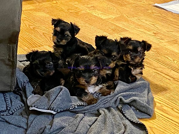 Adorable Male And Female Teacup Yorkie Puppies..Text at.....+1(909)-689-8380  Hi We have a darling male and female T-Cup Yorkie puppies looking for a new home. They are a stunning little boy and girl, cute and sweet, and also very intelligent and loving.