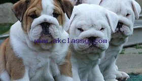 Akc registered English Bulldog Puppies for Adoption