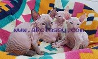 Cute Sphynx Kittens For Sale