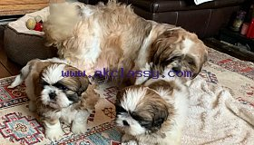 Potty-trained stunning Shih Tzu Puppies in need of a caring family.