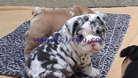 Potty-trained stunning English Bulldog Puppies in need of a caring family.