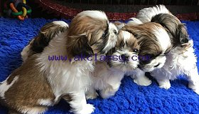 Gorgeous Shih Tzu puppies available for sale