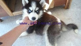 Hhusky Puppies for Sale