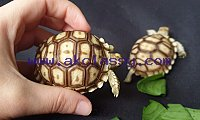 Different types of baby tortoise available for sale