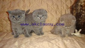 Cute Scottish Fold Kittens sale