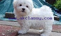 Bichon maltais Puppy For Sale in BELLEVILLE, IL, USA