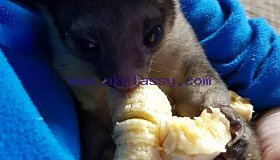 Kinkajou Babies for sale