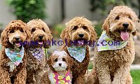 Adorable Goldendoodle Puppies For Sale