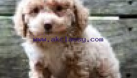 Cute Avery for Sale | Poodle Puppy