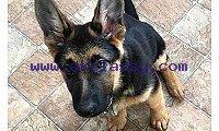 Diesel puppy for Sale | German Shepherd Puppies