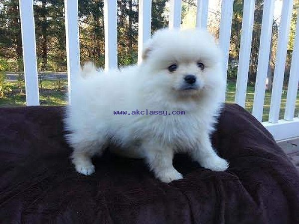 adorable t-cup puppies come for more informations