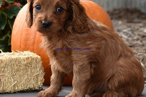 Akc cavapoo-puppies for sale