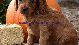 cavapoo-puppy_grid.jpg