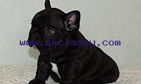 male and female blue french bulldog puppies ready to go