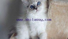 Sweet Ragdoll    kittens for Sale/ whatsapp  +971 52 468 4062