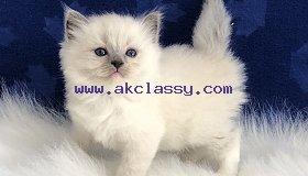 Ragdoll  kittens for Sale/ whatsapp  +971 52 468 4062